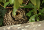 Spotted Eagle Owl/Grand-duc Africain
