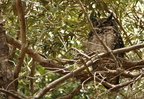 papa / dad Spotted Eagle-Owl