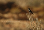 Mountain Wheatear(Chat)/Traquet montagnard