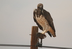 Martial Eagle/Aigle martial
