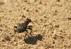 Ten spotted Ground Beetle