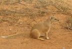 Yellow Mongoose/Mangouste jaune