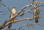 Red-necked Falcon/Faucon chicquera