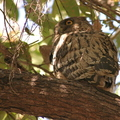 Brown Fish Owl/Kétoupa brun||<img src=./_datas/5/z/8/5z83hw7grq/i/uploads/5/z/8/5z83hw7grq//2013/06/23/20130623100351-f7e9f22e-th.jpg>