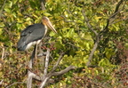 Greater Adjutant/Marabout argala