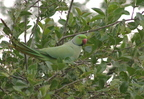 Rose-ringed Parakeet/Perruche à colier
