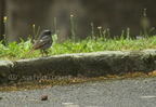 Rougequeue noir/Black Redstart