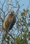 White-backed Mousebird/Coliou à dos blanc