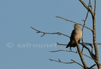 Coucou gris/Common Cuckoo