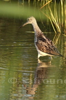Chevalier aboyeur/Common Greenshank