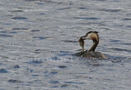 Grèbe huppé/Great-crested Grebe