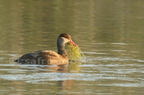 Nette rousse/Red crested Pochard