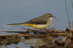 Bergeronnette des ruisseaaux/Grey Wagtail