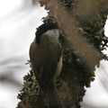 Mésange boréale/Willow Tit||<img src=./_datas/5/z/8/5z83hw7grq/i/uploads/5/z/8/5z83hw7grq//2015/11/05/20151105085233-85020cc8-th.jpg>