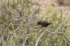 Pale-winged Starling / Rufpenne nabouroup