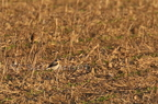 Traquet motteux/Northern Wheatear