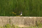 Bergeronnette grise/White Wagtail