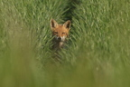 Renard roux/Red Fox