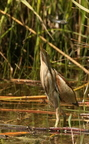 Blongios nain/Little Bittern  female