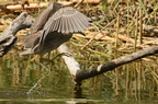 Bihoreau gris/Black-crowned Night Heron