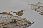 Pipit spioncelle/Water Pipit