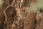 African Wild Cat / Chat sauvage africain