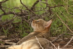African Wild Cat/Chat sauvage africain