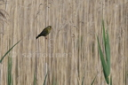 Verdier d'Europe/Europeen Greenfinch