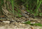 Pinson des arbres/Common Chaffinf