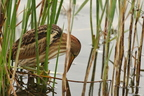 Blongios nain/Little Bittern