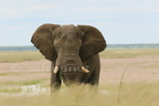 Elephant at Fisher Pan