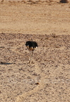 Wild Horses/Chevaux sauvages-Ostrich