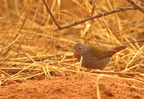 Green-winged Pytilia (Melba Finch) / Beaumarquet melba