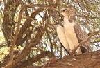 Martial Eagle/Aigle martial + a kill