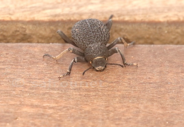 Pitted Darkling Beetle, Alogenius cavifrons