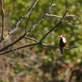 White-throated Kingfisher/Martin-chasseur de Smyrne juv.||<img src=./_datas/5/z/8/5z83hw7grq/i/uploads/5/z/8/5z83hw7grq//2013/06/23/20130623100343-b6b650e6-th.jpg>